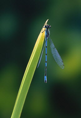Azure Damselfly (Coenagrion puella) on reed leaf  -  Stephen Dalton