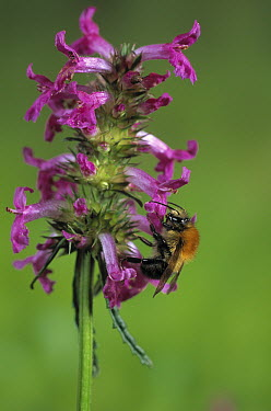Brown Bumblebee (Bombus pascuorum) on red labiate flower  -  Stephen Dalton
