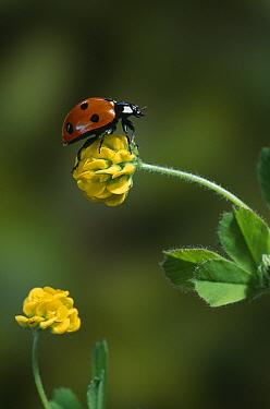 Seven-spotted Ladybird (Coccinella septempunctata) on medick flower  -  Stephen Dalton