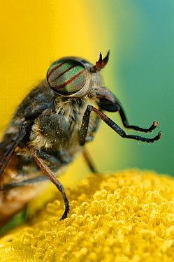 Horse Fly, head and thorax detail, male, nectar-feeder  -  Stephen Dalton