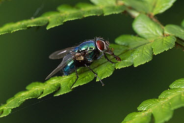 Greenbottle Fly (Lucilia caesar) also known as Blow Fly, on fern frond  -  Stephen Dalton