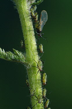 Aphids, winged and wingless on mint stem  -  Stephen Dalton