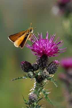 Small Skipper (Thymelicus flavus) butterfly on knapweed  -  Stephen Dalton