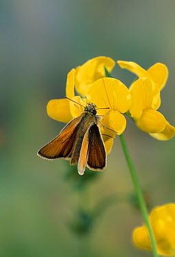 Small Skipper (Thymelicus flavus) butterfly on meadow vetchling  -  Stephen Dalton