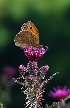 Meadow Brown (Maniola jurtina) butterfly on thistle  -  Stephen Dalton