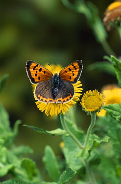 Small Copper butterfly (Lycaena phlaeas) on fleabane  -  Stephen Dalton