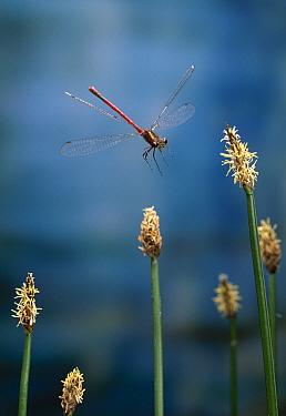 Large Red Damselfly (Pyrrhosoma nymphula) flying  -  Stephen Dalton