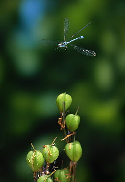 Azure Damselfly (Coenagrion puella) flying over bluebell fruit  -  Stephen Dalton