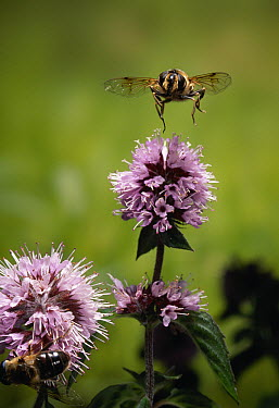 Drone Fly (Eristalis tenax) flying over Water Mint (Mentha aquatica)  -  Stephen Dalton