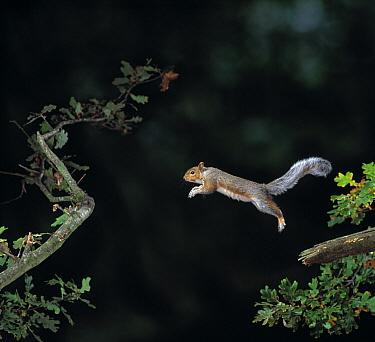 Eastern Gray Squirrel (Sciurus carolinensis) leaping from oak tree  -  Stephen Dalton