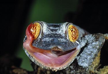 Henkel's Leaf-tailed Gecko (Uroplatus henkeli) licking eye  -  Stephen Dalton