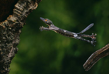 Henkel's Leaf-tailed Gecko (Uroplatus henkeli) leaping between branches  -  Stephen Dalton