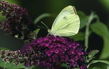 Cabbage Butterfly (Pieris brassicae) on buddleia  -  Stephen Dalton
