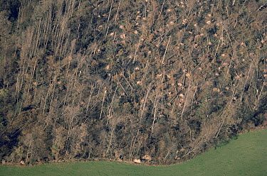 Hurricane damage to woodland, Ardingly, West Sussex, England  -  Stephen Dalton