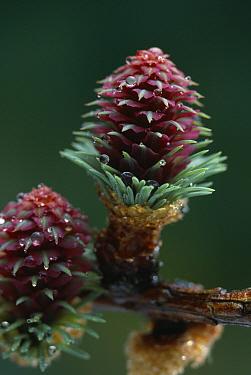 European Larch (Larix decidua) blooms, female cones  -  Stephen Dalton