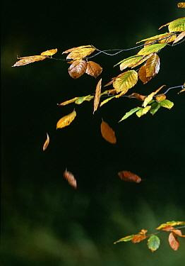 European Beech (Fagus sylvatica) falling leaves in autumn  -  Stephen Dalton