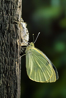 Cabbage Butterfly (Pieris brassicae) newly emerged from pupa  -  Stephen Dalton