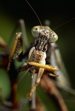 Praying Mantis eating prey, showing eyes and mouthparts, Madagascar  -  Stephen Dalton