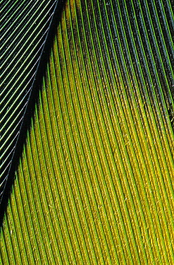Amazon Parrot (Amazona sp) flight feather  -  Stephen Dalton