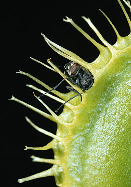 Venus Fly Trap (Dionaea muscipula) with fly prey, trap sprung by touching trigger hairs at leaf base, found in swamps  -  Stephen Dalton