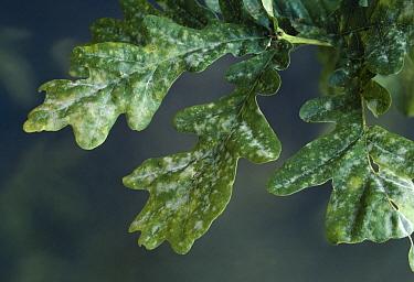 Oak Mildew (Microsphaera alphitoides) infesting oak foliage  -  Stephen Dalton