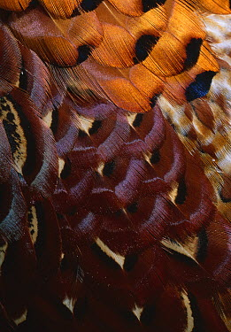 Ring-necked Pheasant (Phasianus colchicus) male contour feathers  -  Stephen Dalton