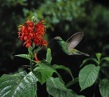 Sparkling Violet-ear (Colibri coruscans) hummingbird sipping nectar from flower  -  Stephen Dalton