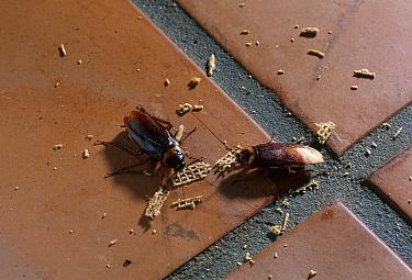 American Cockroach (Periplaneta americana) pair eating crumbs on tiled floor  -  Stephen Dalton