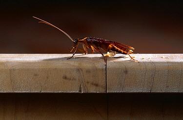 American Cockroach (Periplaneta americana) on wall,  -  Stephen Dalton