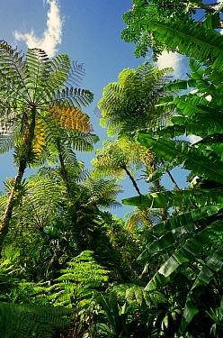 Rainforest tree ferns, Dominica, Windward Islands, Lesser Antilles, Caribbean  -  Stephen Dalton