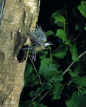 Great Tit (Parus major) flying from nest hole in tree trunk  -  Stephen Dalton
