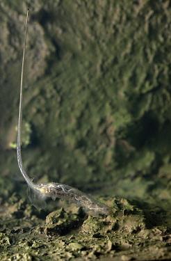 Hoverfly (Eristalis sp) larva underwater with breathing tube  -  Stephen Dalton