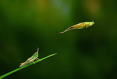 Meadow Grasshopper (Chorthippus parallelus) hopping, multiflash image  -  Stephen Dalton