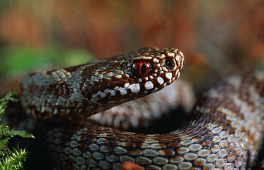 Common European Adder (Vipera berus) eye  -  Stephen Dalton