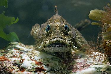 Longspined Sea Scorpion (Taurulus bubalis) portrait, underwater  -  Stephen Dalton