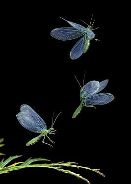 Lacewing (Chrysopa sp) flying  -  Stephen Dalton