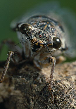 Cicada (Cicada orni) head and face  -  Stephen Dalton