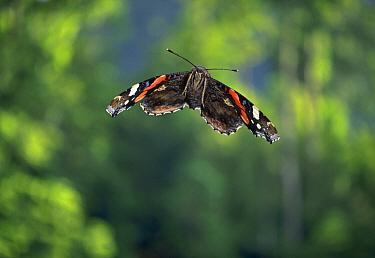 Red Admiral (Vanessa atalanta) butterfly flying  -  Stephen Dalton