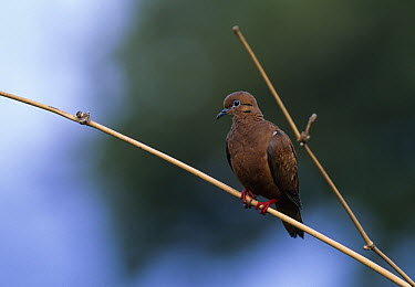 Eared Dove (Zenaida auriculata) perching, West Indies  -  Stephen Dalton