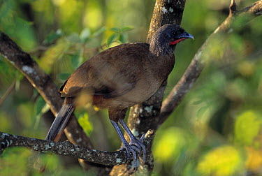 Rufous-vented Chachalaca (Ortalis ruficauda) perching on tree limb, Tobago, West Indies  -  Stephen Dalton