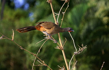 Rufous-vented Chachalaca (Ortalis ruficauda) crouching on twig, Tobago, West Indies  -  Stephen Dalton
