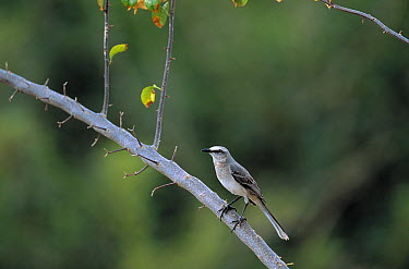 Tropical Mockingbird (Mimus gilvus) perching on limb, Tobago, West Indies  -  Stephen Dalton