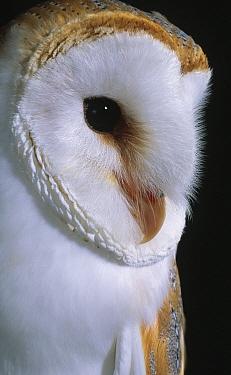 Barn Owl (Tyto alba)  -  Stephen Dalton