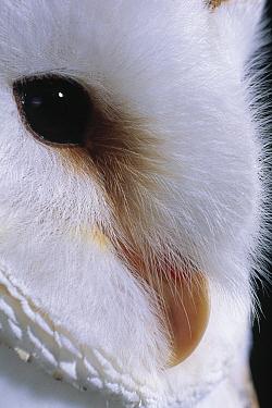 Barn Owl (Tyto alba) detail of eye and beak  -  Stephen Dalton