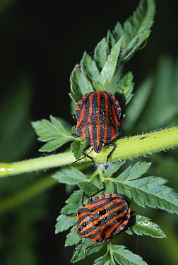 Shield Bug (Graphosoma italicum) pair on foliage  -  Stephen Dalton