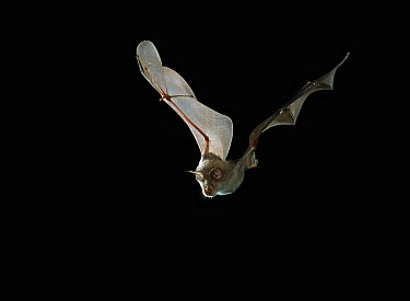 Greater Horseshoe Bat (Rhinolophus ferrumequinum) flying  -  Stephen Dalton