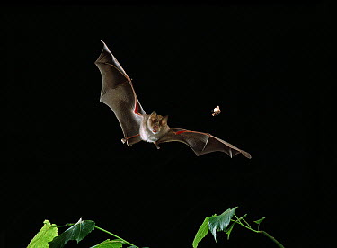 Greater Horseshoe Bat (Rhinolophus ferrumequinum) pursuing moth  -  Stephen Dalton