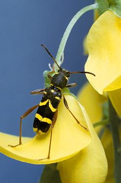 Wasp Beetle (Clytus arietis) climbing flower  -  Stephen Dalton