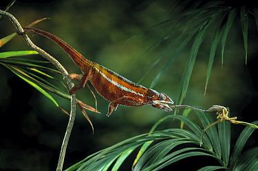 Panther Chameleon (Chamaeleo pardalis) catching insect, Madagascar  -  Stephen Dalton