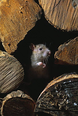 Brown Rat (Rattus norvegicus) on lookout from middle of pile of logs  -  Stephen Dalton